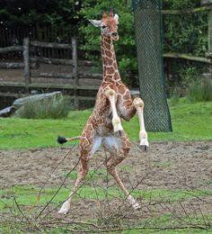 https://flic.kr/p/ekRJYc | giraffe blijdorp IMG_0107