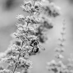 #blackandwhite #wildlife #bee #olympus