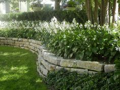 The French Tangerine: ~ lovely home/ Row of hostas in bloom on a stone wall with a hedge behind.
