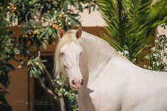 PRE stallion Divo PM, ow. Yeguada Paco Martí