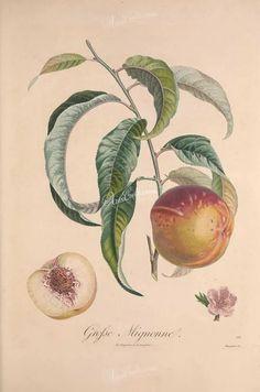 fruits-02435 - Peach, 30 [3388x5111]