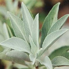 White sage, for cooking, medicinal & spiritual uses