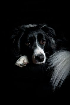 "Portrait of a beautiful Border Collie named ""Gimli""..."
