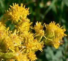 Goldenrod - looking for narrow leaved, solidago graminifolia, or rough stemmed, solidago rugosa    Not sure what is pictured here