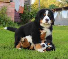 Horseplay? More like dogplay! #BerneseMountainDog