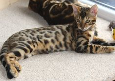 ♥CG♥ 25 Bengal Cat Origin: United States Breed: Hybrid Asian Leopard Cat  Domestic