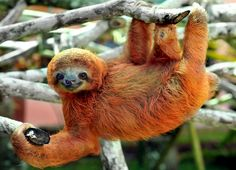 Sloth sanctuary | Just hanging out: Meet the adorable occupants of Costa Rica's 'sloth sanctuary' - Yahoo News UK