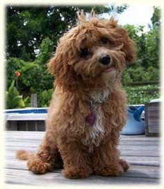 about Bichon poodle & others on Pinterest | Poodles, Bichon frise ...