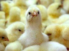 Приобрести цыплят бройлеров можно с рук, на птицефермах либо сразу с инкубатора. Наиболее оптимальной является покупка сразу из инкубатора. http://kurinyjdom.ru/razmnozhenie-kurits/pokupka-i-soderzhanie-brojlernykh-tsyplyat.html