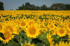 Grinter Farms Sunflowers | by carole with an e