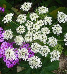 Heracleum lanatum- for secret garden Part Shade Plants, California Native Plants, Deer Resistant Plants, Moon Garden, Woodland Garden, Fitness Gifts, Country Living, Perennials, Flowers