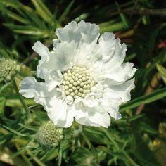 Scabieuse du Caucase (scabiosa caucasica alba).