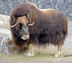 Photo about Portrait of Musk-ox in its enclosure. Image of environment, horn, musk - 8546101 Animal 2, Animal Heads, Wildlife Photography, Animal Photography, Brighton Map, Musk Ox, Ceramic Animals, Large Animals, Creature Design