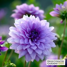 Boy Dahlia A show-stopping lilac-blue semi-dinnerplate variety brings a unique color to the world of Dahlias. These well-formed flowers provide dramatic color in the border for many months from midsummer.A show-stopping lilac-blue semi-dinnerplate variety Beautiful Flowers Pictures, Beautiful Flowers Garden, Flowers Nature, Pretty Flowers, Purple Flowers, Dahlia Flowers, Purple Dahlia, Pink Purple, Photos Of Flowers