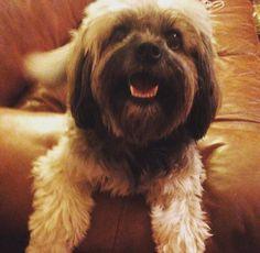 Lowchen Little lion dog breed