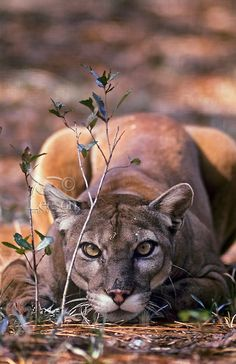 Florida Panther (Puma concolor coryi) in Southern Florida.  Endangered species. - Tom and Pat Leeson