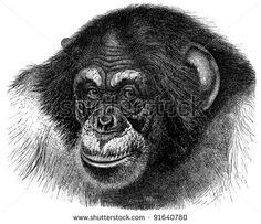 Chimpanzee (Troglodytes Niger) - Vintage illustration / illustration from Meyers Konversations-Lexikon 1897