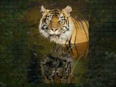 Anubis Spire - Pictures of Tigers - Video - - Anubis, Tiger Fotografie, Tiger Video, Tiger Photography, Original Music, Rock Music, Tigers, Pictures, Posters