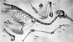 """""""The large flocks of passenger pigeons often caused serious damage to the crops, and the farmers retaliated by shooting the birds and using them as a source of meat,"""" explains the Smithsonian.  The 19th century brought widespread hunting and trapping of the birds, which severely diminished their populations. The last passenger pigeon, named """"Martha,"""" died at age 29 at the Cincinnati Zoo in 1914."""