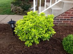 Golden Euonymus www.outdoorcreationslandscapes.com