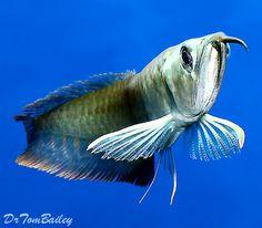 Arowana - Fish, Dragon Fish, Silver and Asian Arrowanas at AquariumFish.net.