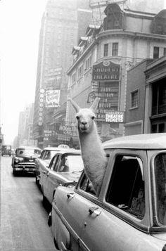 A Llama in Times Square . New York, USA . 1957  Photographer: Inge Morath © Magnum Photos