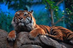 gif tiger images | photo