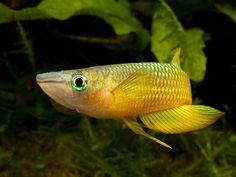 Aplocheilus lineatus | Flickr - Photo Sharing!