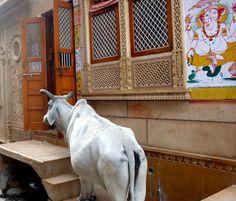 Cow at your door!