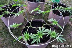 Extreme main-lining at a young age creates an incredible scaffolding for 16 colas. Source: http://www.growweedeasy.com/main-lining-technique-nugbuckets