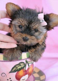 Sweet Yorkie Puppy   Www.TeaCupsPuppies.com