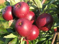 Æbler   Frydenlund Frugtplantage