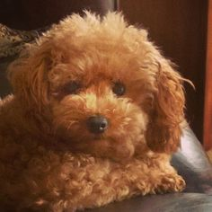 Toy Poodle - Ginger