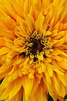 Rudbeckia hirta 'Maya' (black-eyed susanStunning golden yellow mum-like blooms on compact plants with dwarf habit. Grows to 18 inches. Exotic Flowers, Cut Flowers, Beautiful Flowers, Flowers Perennials, Planting Flowers, Flower Close Up, Macro Flower, Mellow Yellow, Color Yellow