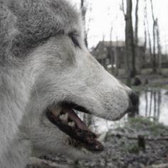 Grey Wolf, Ohanzee