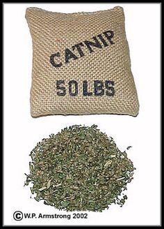Catnip (Nepeta cataria) #catnip - Find out more about Cat nip at Catsincare.com!