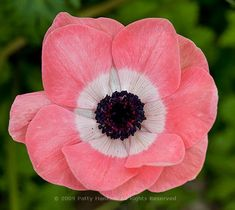 On a recent visit to Longwood Gardens, I photographed some Poppy Anemones (Anemone Coronaria) in along the Garden Path in the East Conservatory. I loved seeing all the different colors of flowers g…