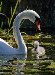 Swan and Signet by Dave Massey.