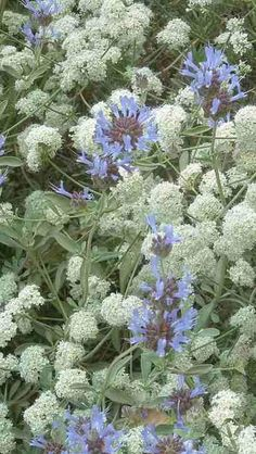 Cleveland sage and California Buckwheat- click through for info on using native plants in vegetable gardens- plan is for California natives, but could be adapted to your area.
