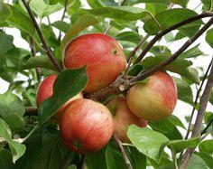 Malus domestica Sävstaholm At/Co Pear, Apple, Garden, Image, Finland, 19th Century, Dreams, Apples, Apple Fruit