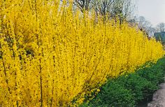 Forsythia X Intermedia Lynwood Gold - Beautiful Forsythia Fence and Property Line.