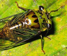 #Cicada own the reputation of being the loudest  #insect in the world.