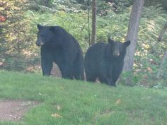 Black Bears.  These are there..