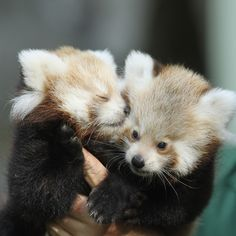 Two twin red pandas were born last Summer at the Tierpark Zoo in Berlin. Description from popsugar.com. I searched for this on bing.com/images