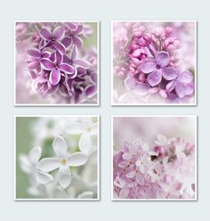 """Lilac Floral Photo Set II - Four Fine Art Photographs, Purple, Pink, White Blossoms, Wall Decor, Large Wall Art (by GeorgiannaLane, on Etsy.com) (title: """"More Shades of Lilac"""") (""""Lilacs come in such an array of colors – not just lilac! These varieties are: 1. Sensation 2. Glory 3. Pink Ruth 4. Angel"""")"""