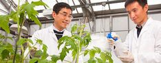 Yan Zhao (left) watches as visiting scientist Wei Wu pretreats a tomato plant with salicylic acid to test its effectiveness against phytoplasma bacterial infections. (ARS photo)