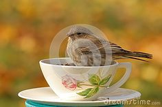 A female House Finch eats bird seed from a pretty teacup.