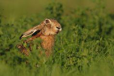 zając, Mazury Hare, Rabbit, Wildlife, Polish, Animals, Google, Fotografia, Bunny, Vitreous Enamel