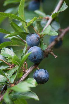 Sloes or Blackthorn (Prunus spinosa)