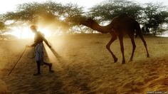A herder in India walks down a dusty embankment followed by one of his camels as he heads to the camel fair grounds in the outskirts of the small town of Pushkar